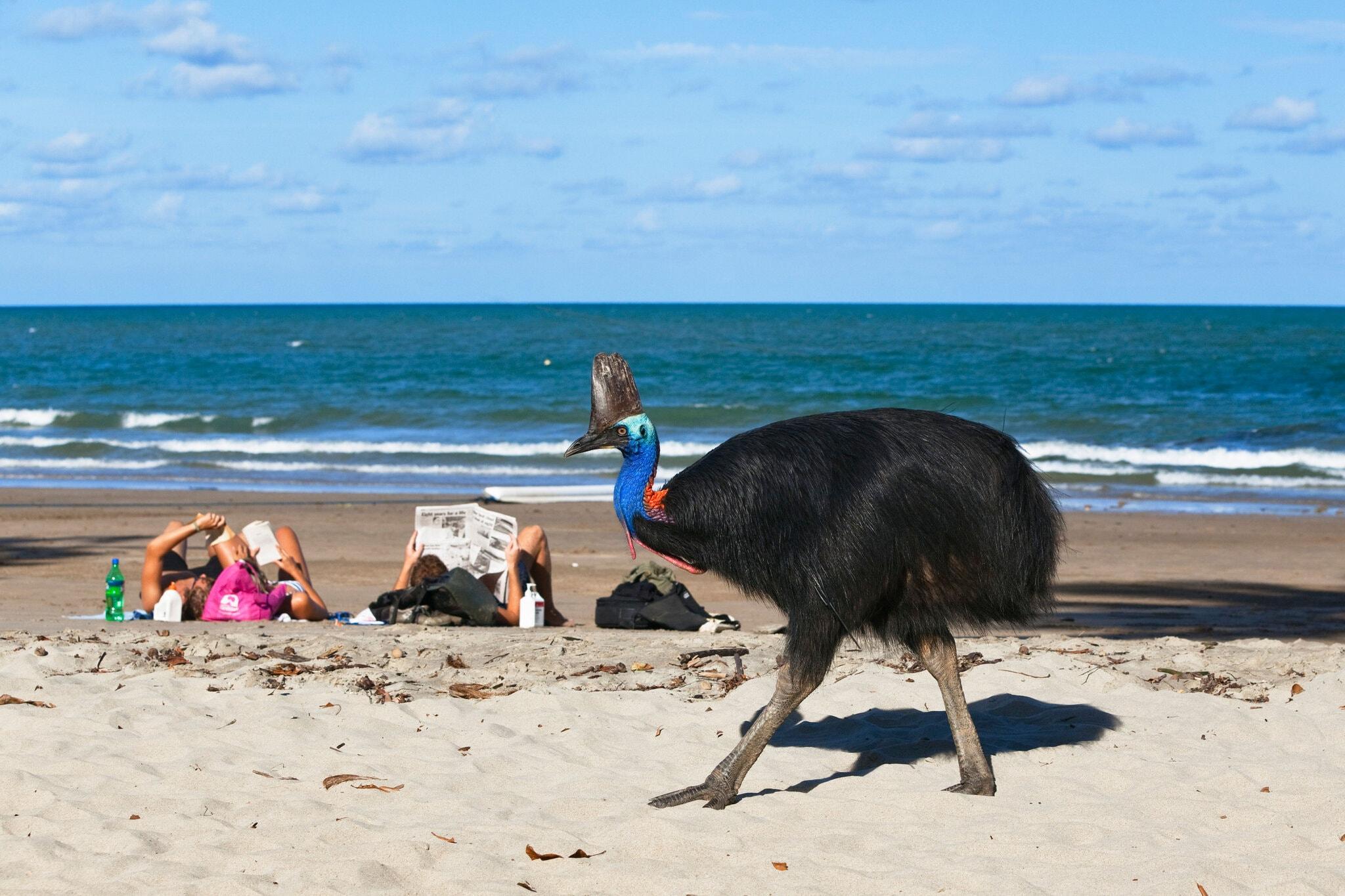 Um casuar do sul espreitou uma praia movimentada em Moresby Range, Queensland, Austrália - Foto: Konrad Wothe / imageBROKER, via Alamy